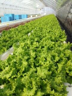 MODSグリーンファーム レタス栽培