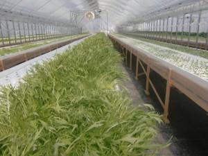 MODSグリーンファーム水菜