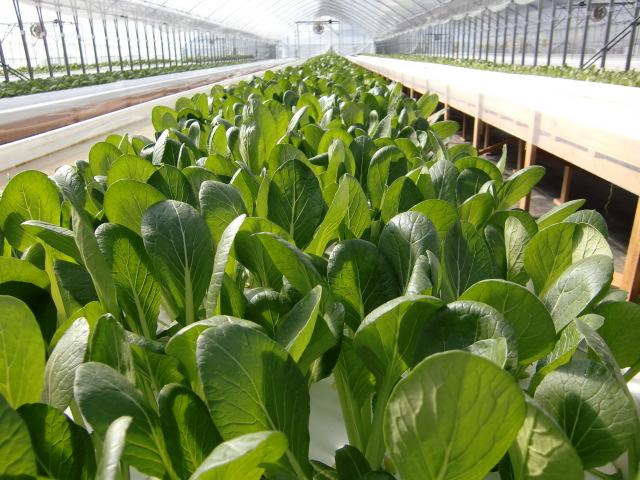 こまつなハウススイゴウ栽培